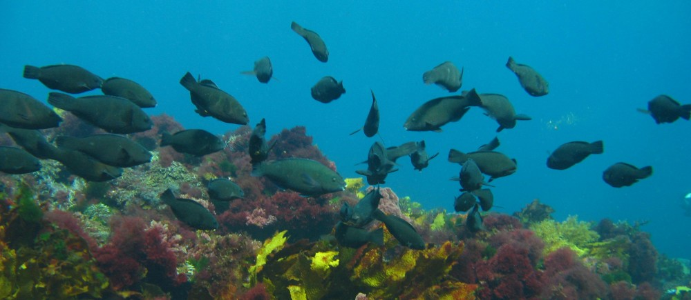 School of Parrot fish at Houtman Abrolhos Marine Park