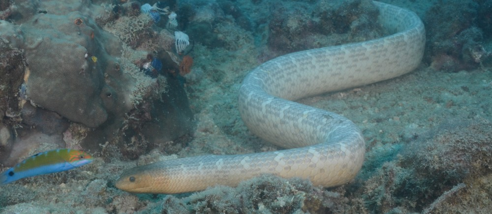 Sea snake on Carpentaria Reef