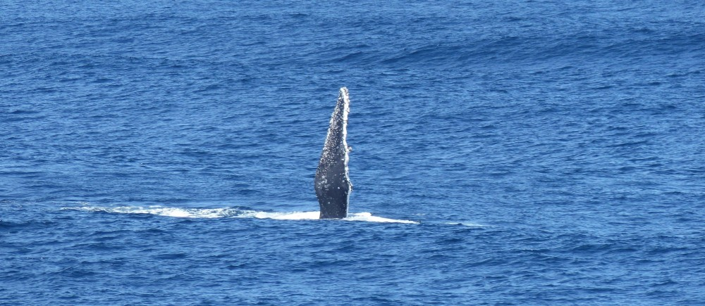 Humpback whales point the way