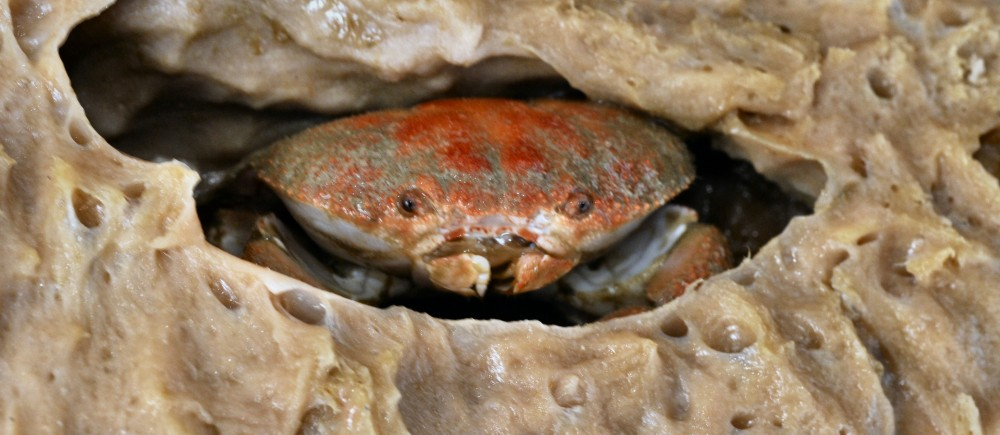 Crab in a sponge