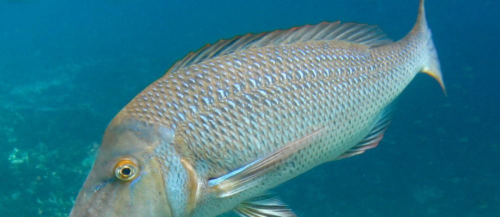Spangled Emperor fish - Lethrinus nebulosus