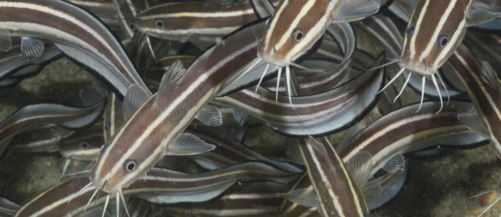 Striped Catfish in the Arafura Marine Park