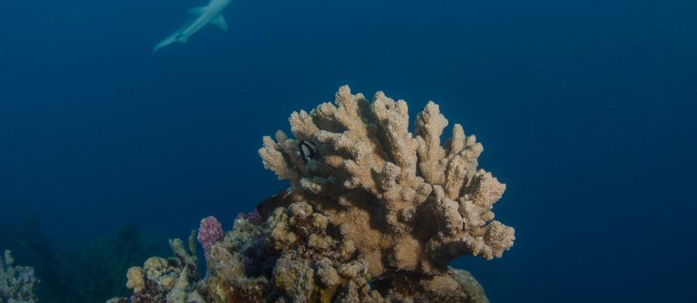 Black-tip reef shark at Middleton Reef