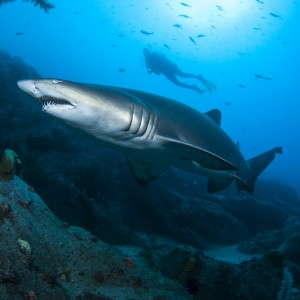 Grey nurse shark and diver off South-west Rocks