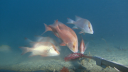 Red emperor and gold band snapper in Ningaloo Marine Park